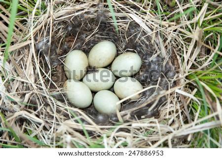 Anas platyrhynchos. The nest of the Mallard in nature. - stock photo