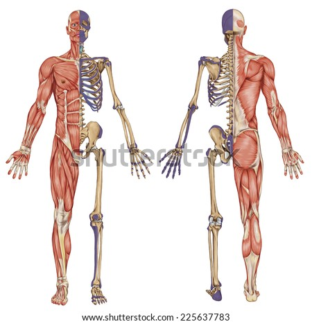 anatomical body, human skeleton, anatomy of human bony system, body surface contour and palpable bony prominences of the trunk and upper and lower limbs, anterior posterior view, full body - stock photo