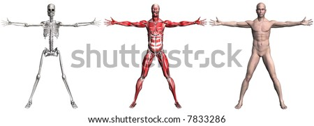 Anatomical illustration of the skeleton and muscles of a human male. 3D render. (NO genitalia.) - stock photo