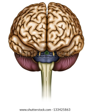 anatomical illustrations with frontal brain - stock photo