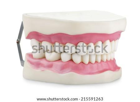 Anatomical jaw model isolated on white - stock photo
