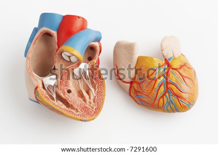 anatomically correct model of the human heart with ventricles and major vessels - stock photo
