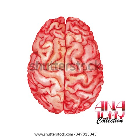 Anatomy collection - brain. Watercolor organ  isolated on white background - stock photo