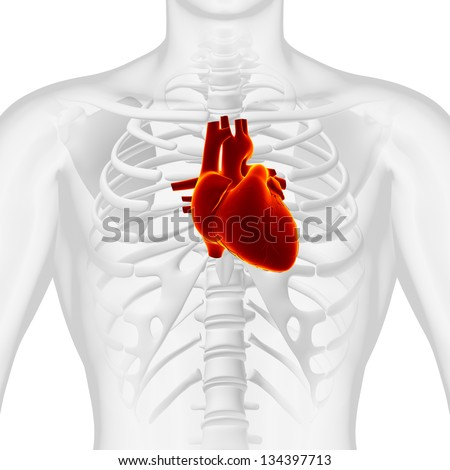 Anatomy Heart - Chest Medical Scan - White - stock photo