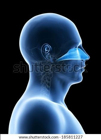 anatomy illustration showing the nasal cavity - stock photo