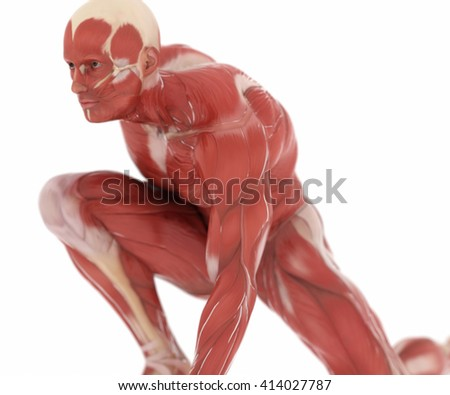 Anatomy muscle map on white isolated - stock photo