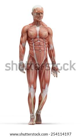 anatomy muscles - stock photo