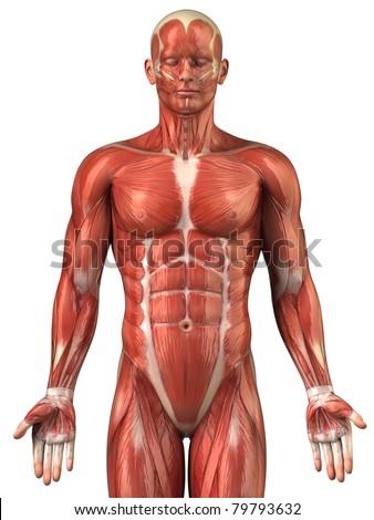 Anatomy of man muscular system upper half - anterior view - stock photo