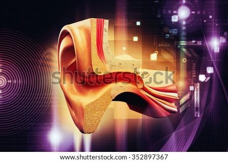 Anatomy of the ear - stock photo