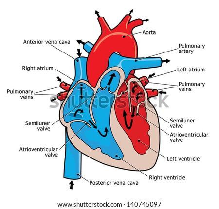 Human heart valve anatomy - photo#3