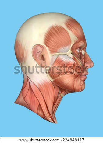 Anatomy side view of major face muscles of a man including occipitofrontalis, temporalis, masseter, orbicularis, zygomaticus, buccinator and cranial aponeurosis.  - stock photo