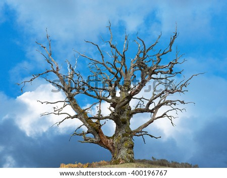 ancient bare oak tree on bright blue sky - stock photo