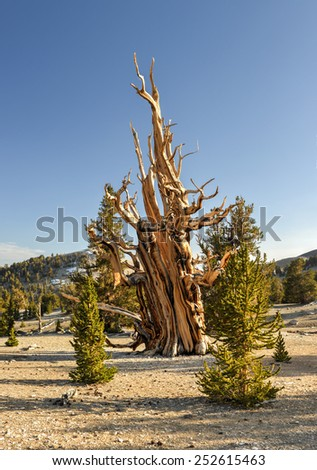 Ancient Bristlecone Pine Forest - a protected area high in the White Mountains in Inyo County in eastern California. - stock photo