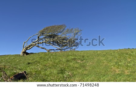 Ancient lone hawthorn tree (Crataegus monogyna),sculpted by the wind, so it is now bent over at ninety degrees - stock photo
