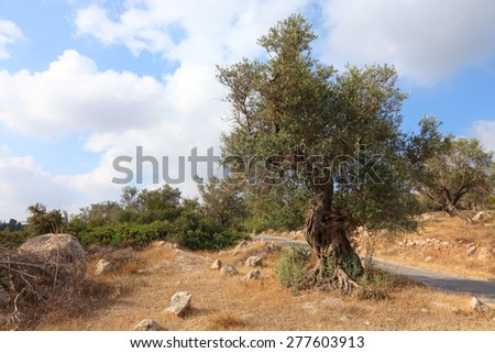 Ancient olive tree. Bible landscape. Judaean Mountains, (Judaean Hills). Israel - stock photo