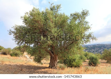 Ancient olive tree in Judea Hills (Israel) - stock photo