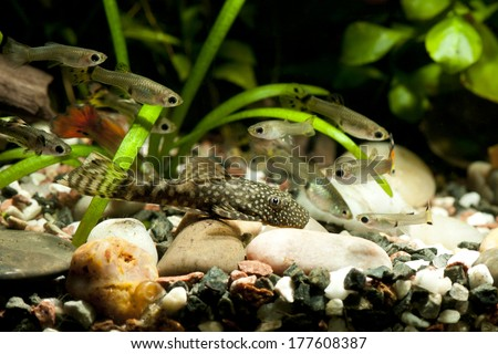 Ancistrus dolichopterus and guppy fishes - stock photo