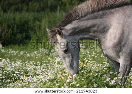 Andalusian gray young horse portrait in summer at the blooming field - stock photo