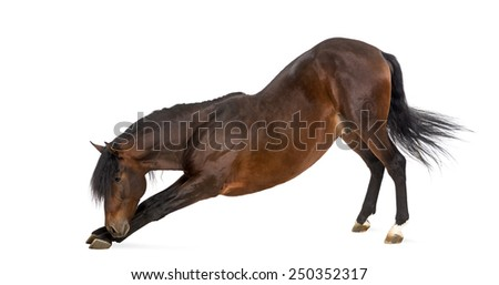 Andalusian horse bowing - stock photo
