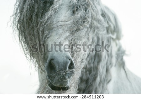 andalusian horse face closeup with long curvy forelock and mane - stock photo