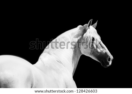 andalusian horse monochrome portrait - stock photo