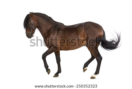 Andalusian horse trotting - stock photo