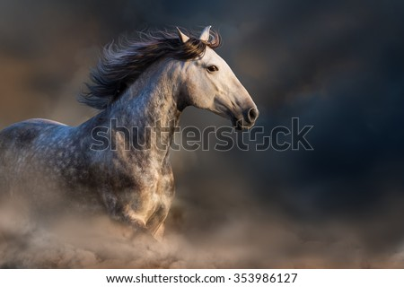 Andalusian horse with long mane run at sunset light in dust - stock photo