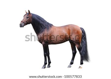 Andalusian stallion on a white background - stock photo