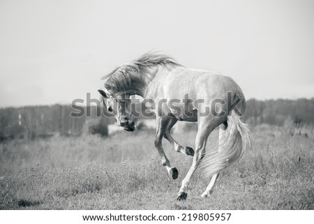 andalusian white horse playing - stock photo