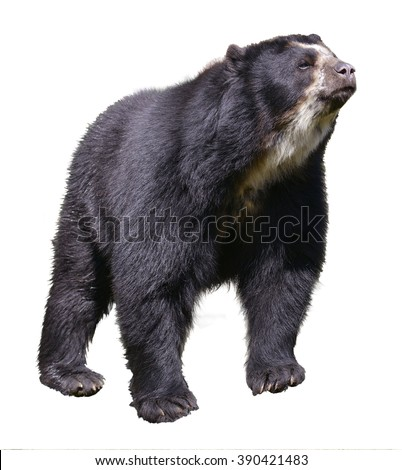 Andean bear (Tremarctos ornatus) standing near pond, also known as the spectacled bear, isolated on white background - stock photo