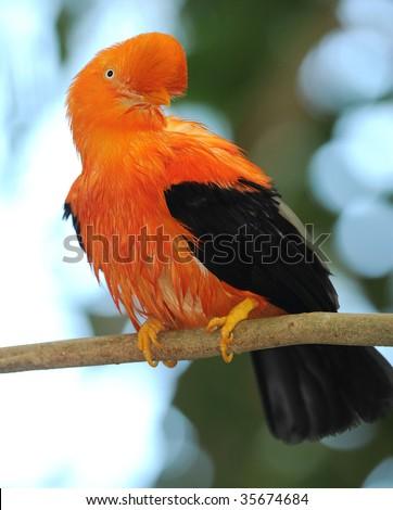 Andean cock on the rock , peru, south america, rupicola cotinga, orange colorful bird - stock photo