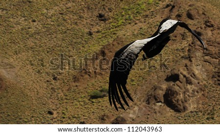 Andean condor flying in patagonia argentina. - stock photo