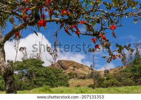 Andean peak framed by the coral flower tree (Erythrina sp.) in the Yunguilla Valley near Giron, Ecuador, south of Cuenca. - stock photo