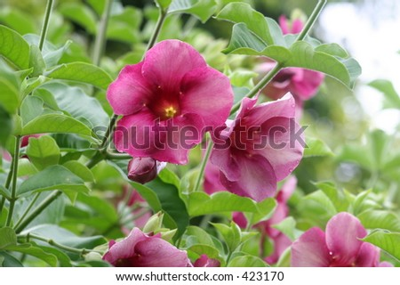 Andromeda Botanical Gardens, Barbados, hibiscus - stock photo