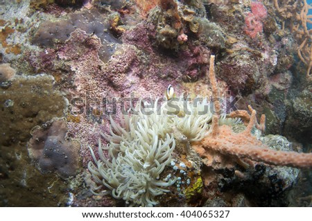 Anemone and anemone fish - stock photo