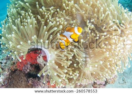 Anemone and anemone fish Coron , Palawan,  Philippines. - stock photo