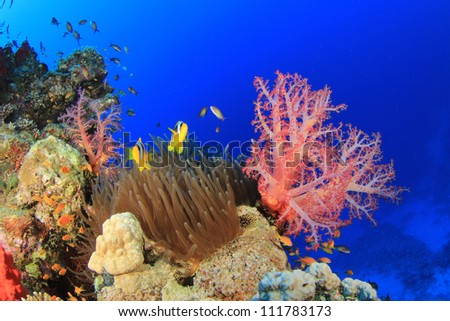 Anemone and Clownfish on coral reef - stock photo