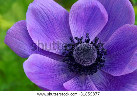 Anemone coronaria 'Mr. Fokker' Macro Horizontal - stock photo