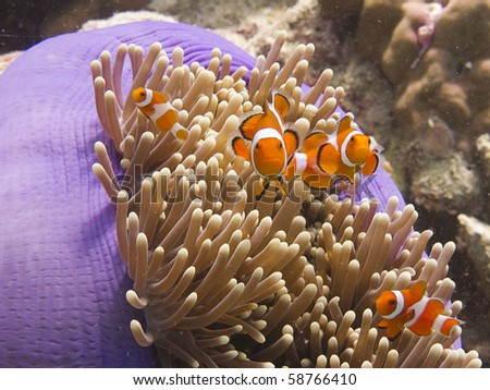 Anemone fish (clownfish) in an anemone - stock photo