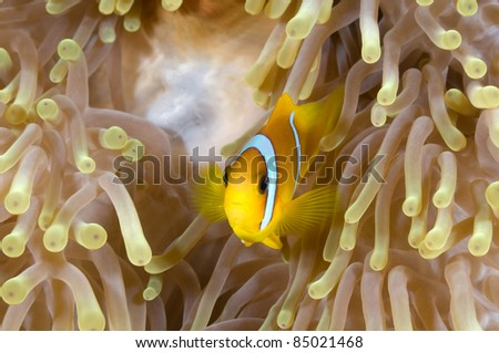 Anemone fish in his colorful host sea anemone. - stock photo