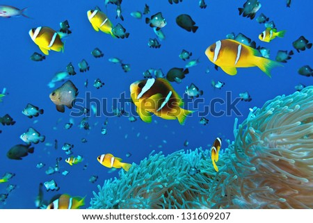 Anemone fish on the soft coral - stock photo