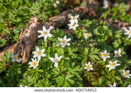 Anemone flowers in daylight in the spring - stock photo