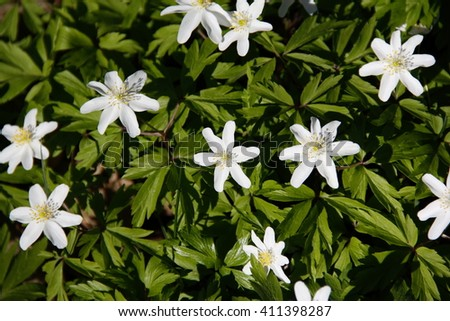 Anemone nemorosa  flowering plant  Anemone in the family Ranunculaceae. Common names include wood anemone, windflower, thimbleweed and smell fox. - stock photo