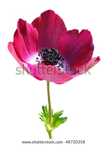 Anemone on white - stock photo