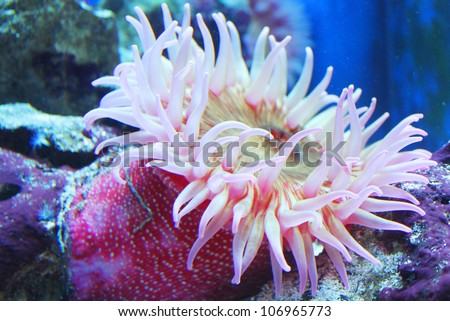 Anemone (Urticina crassicornis) - stock photo