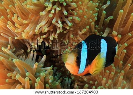 Anemonefish in anemone - stock photo