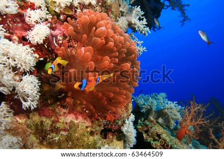 Anemonefish in Fluorescent Red Anemone - stock photo