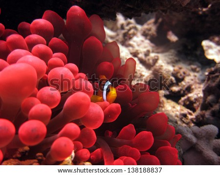 Anemonefish in red anemone - stock photo