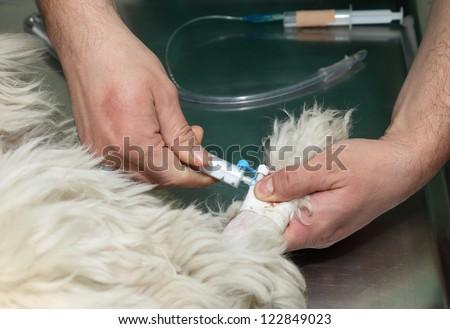 Anesthesia  through anesthetic  syringe before veterinary surgery - stock photo