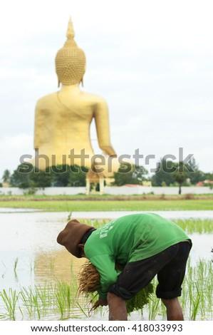 ANG THONG,THAILAND - JULY 16 : Farmers are planting rice in the farmland on July 16, 2009. in  Ang Thong Thailand.  Thailand. - stock photo